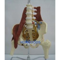 人體盤骨模型