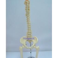 人體脊椎模型