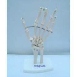 手掌骨模型