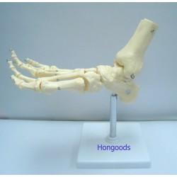 腳掌骨模型